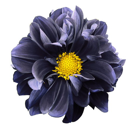 Dark blue  dahlia. Flower on a white  isolated background Stock fotó