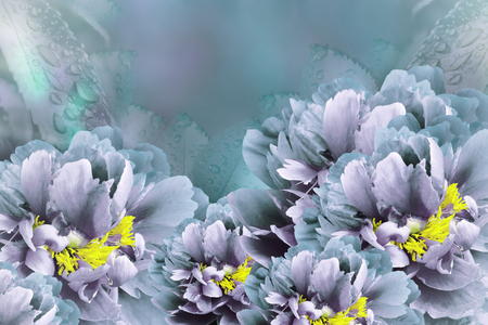 Floral background  turquoise-violet peonies.  Flowers close-up on a turquoise-violet background. Flower composition. Nature.