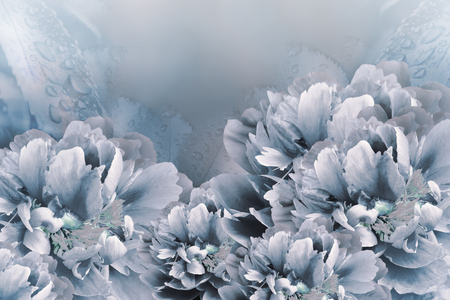 Floral background white-blue  peonies.  Flowers close-up on a light blue  background. Flower composition. Nature. Imagens