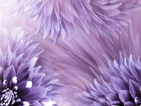 Floral purple background. Flowers  dahlias close-up on a  light purple-pink  background.  Flowers composition. Nature. Фото со стока