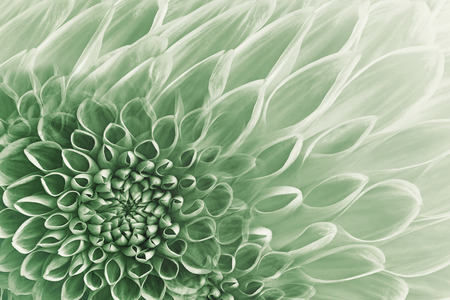 Floral white-green background. Flowers  dahlias close-up.  Flowers composition. Nature.