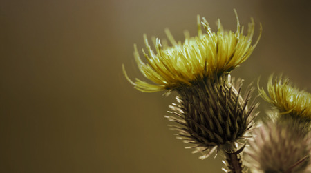 Floral yellow-brown  autumn background.  yellow  thorny thistle flower. A yellow-amber flower on a brown background. Closeup.  Nature.