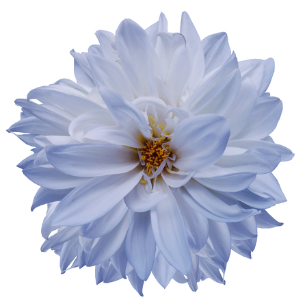 flower isolated. light blue dahlia on a white background. Flower for design. Closeup. Nature.