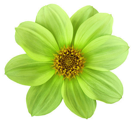 Green-yellow flower dahlia isolated on white background. For design. Closeup. Nature.