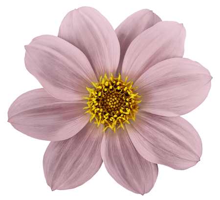 white-pink flower dahlia isolated on white background. For design. Closeup. Nature.