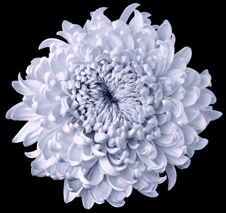 light blue flower chrysanthemum isolated on black background. For design. Clearer focus. Closeup. Nature. Stok Fotoğraf
