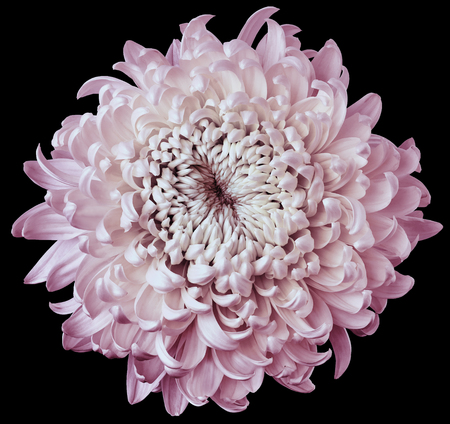 white-pink flower chrysanthemum isolated on black background. For design. Clearer focus. Closeup. Nature. Stok Fotoğraf