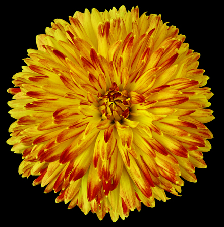 yellow-red flower dahlia isolated on black background. For design. Closeup. Clearer focus. Nature.
