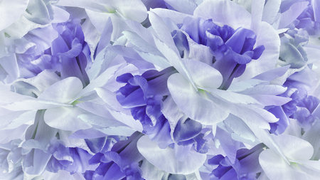 Floral blue background. Flowers white-blue irises close up. Flower composition. Nature.