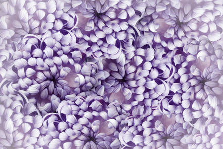 Floral purple background. Pink-white  flowers chrysanthemum close-up.  Flower composition. Nature. Фото со стока