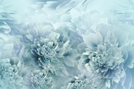 Floral turquoise background. Peonies flowers close-up on a pink background. Petals of flowers. Greeting card. Nature.