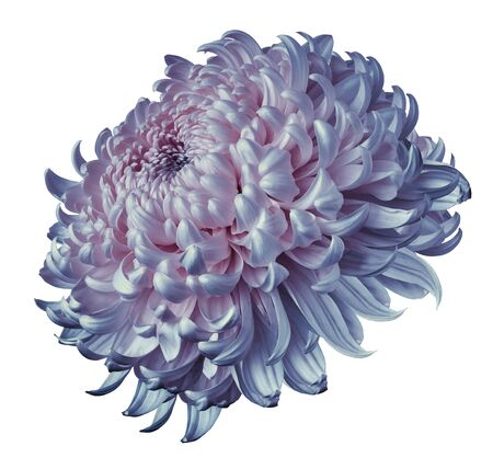 blue-pink  flower chrysanthemum isolated on white background. For design. Clearer focus. Closeup. Nature. Stock fotó