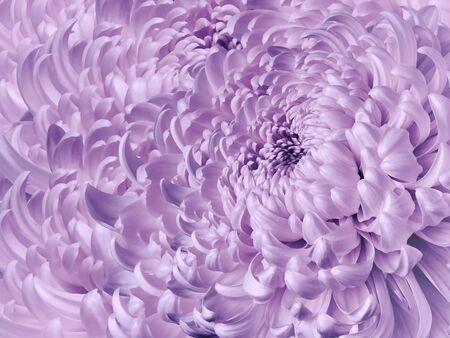 Floral white-purple background. Flower blue chrysanthemum close-up. Chrysanthemum petals. Nature.