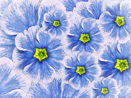 floral background of violet flowers. Flowers white blue with a green middle. Nature.