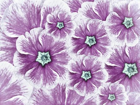 floral background of violet flowers. Flowers white purple with light blue  middle. Nature. Stock Photo
