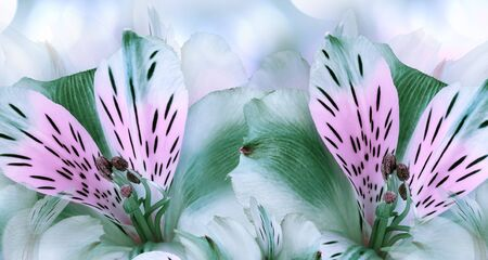 Floral green  background. Alstroemeria  flowers close-up.  Nature.