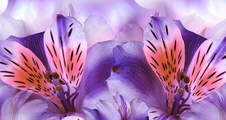 Floral rviolet background. Alstroemeria  flowers close-up.  Nature.