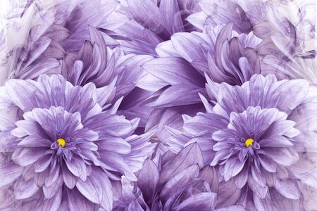 Floral  purple background. Pink-white  flowers dahlias.  floral collage.  Flower composition. Nature.