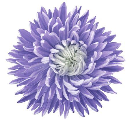 fleur d'aster violet, fond isolé blanc avec un tracé de détourage. La nature. Gros plan pas d'ombres.
