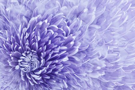 Floral halftone purple background. Flower and petals of purples aster close up. Nature.
