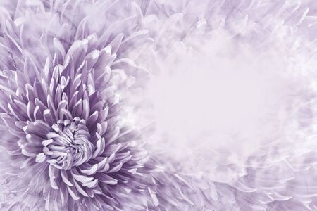 Floral halftone light purple background. Flower and petals of purple aster close up. Place for text. Nature. Фото со стока