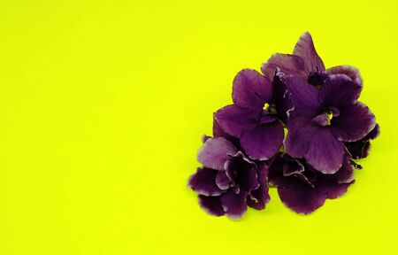 Bright purple violets on a bright yellow background. Bouquet of violets. Place for text. Nature. Stock Photo