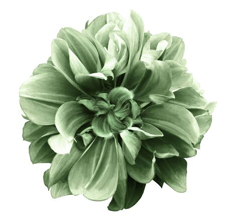 green dahlia. Flower on the black isolated background