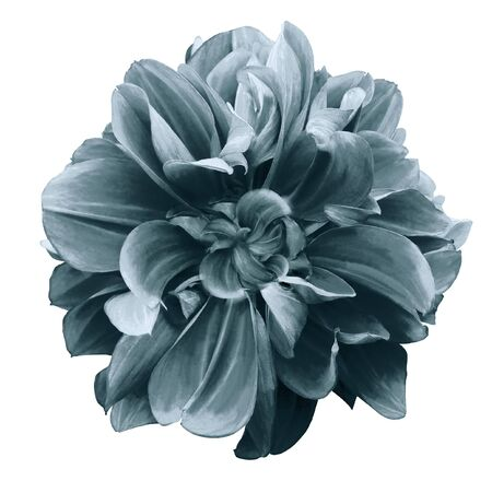 turquoise dahlia. Flower on a white isolated background with clipping path.  For design.  Closeup.  Nature.
