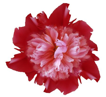 Watercolor flower  red peony.  on a white isolated background Imagens