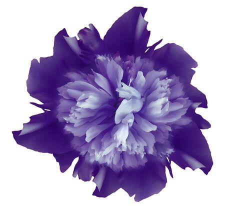 Watercolor flower  purple peony.  on a white isolated background