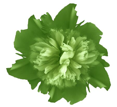 Watercolor flower  green  peony.  on a white isolated background