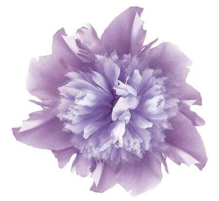 Watercolor flower  light violet peony.  on a white isolated background
