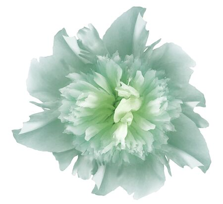 Watercolor flower  light turquoise peony.  on a white isolated background Imagens