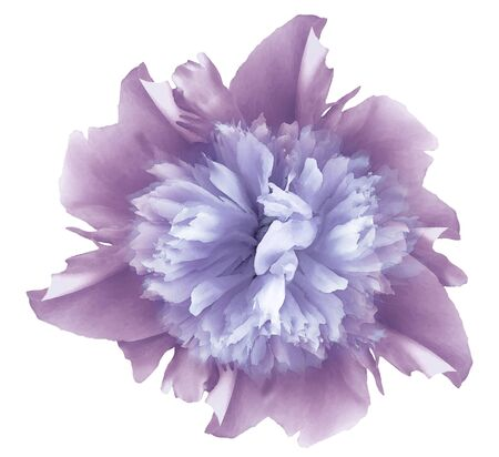 Watercolor flower   violet-blue peony.  on a white isolated background