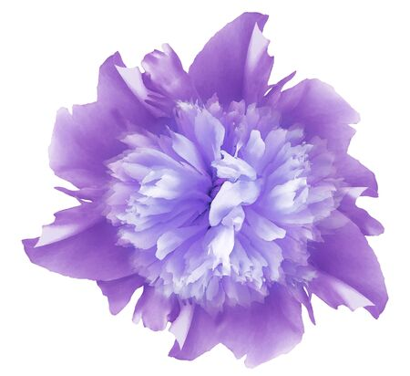 Watercolor flower bright purple peony.  on a white isolated background