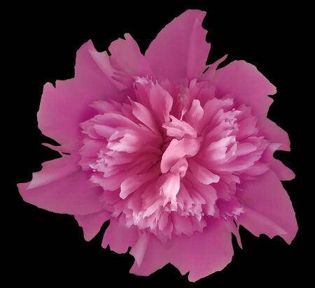 Watercolor flower pink  peony.on  the black isolated background Imagens