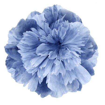 Watercolor Peony flower blue on a white isolated background
