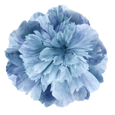 Watercolor Peony flower turquoise-blue on a white isolated background