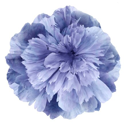 Watercolor Peony flower purple-blue on a white isolated background