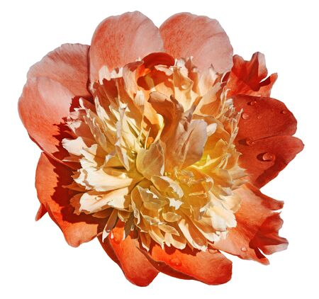 Peony flower red-yellow on a white isolated background