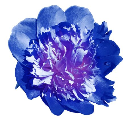Peony flower blue on a white isolated background