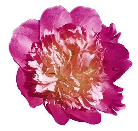 Peony flower pink on a white isolated background Фото со стока