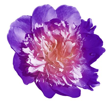 Peony flower purple on a white isolated background