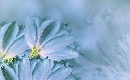 flowers tulups on background turquoise. Turquoise  flowers tulups. floral background.  Flower composition. Nature. Reklamní fotografie
