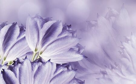 flowers tulups on background white-violet. Light violet flowers tulups. floral background.  Flower composition. Nature. Фото со стока - 128979584