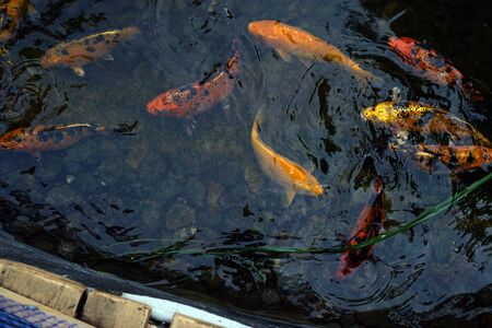 Colorful decorative beautiful carps. Fish in the water. Nature.