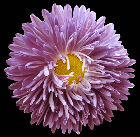 purple astra flower, black isolated background with clipping path.    Closeup.  no shadows.  For design.   Nature. Фото со стока