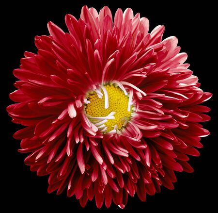 red astra flower,black isolated background with clipping path.    Closeup.  no shadows.  For design.   Nature.