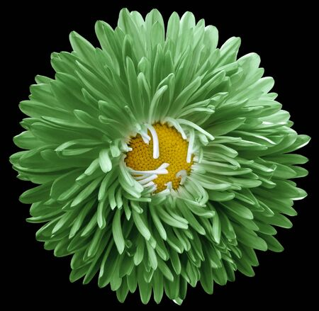 green astra flower,black isolated background with clipping path.    Closeup.  no shadows.  For design.   Nature.