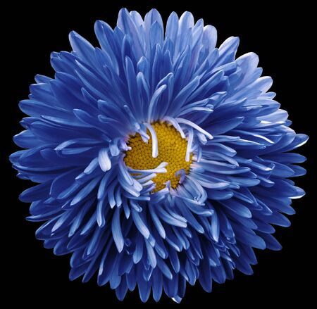 blue astra flower,black isolated background with clipping path.    Closeup.  no shadows.  For design.   Nature.